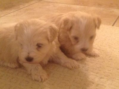 2 male Maltese puppies for sale