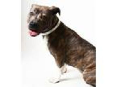 Adopt Bootsy a Pit Bull Terrier