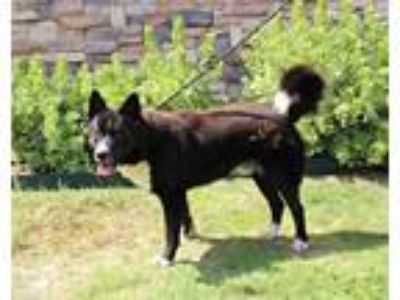 Adopt DOMINO a Border Collie, Akita