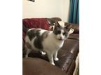 Adopt Peach a White Snowshoe / Mixed (medium coat) cat in Channelview