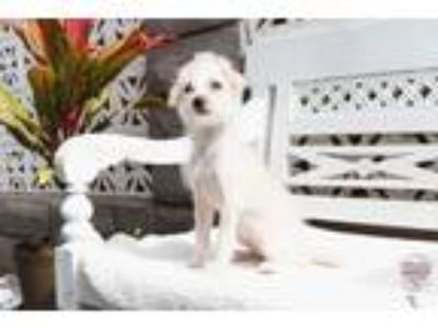 Adopt Sterling One Off a White Terrier (Unknown Type, Small) / Mixed dog in