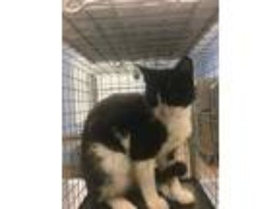 Adopt Panola Rd and Snapfinger Dr -3 a All Black Domestic Shorthair / Domestic