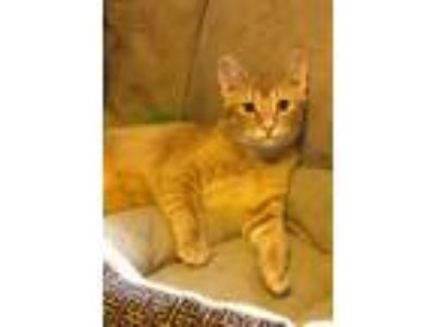 Adopt TAYLOR a Orange or Red (Mostly) Domestic Shorthair / Mixed (short coat)