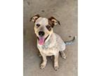 Adopt Cooper a White - with Brown or Chocolate Cattle Dog / Mixed dog in
