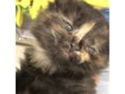 Adopt Thimble a All Black Domestic Longhair / Domestic Shorthair / Mixed cat in