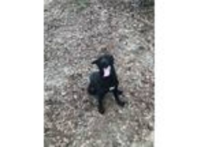 Adopt Poncho a Black - with White Labrador Retriever / Mixed dog in Claxton