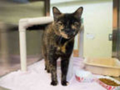 Adopt EMMA a Tortoiseshell Domestic Shorthair / Mixed (short coat) cat in