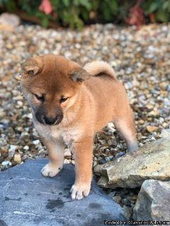 Lovely Japanese Shiba Inu Puppies