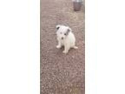 Adopt Bleu a White - with Black Australian Shepherd / Mixed dog in Rock Springs