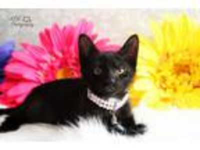Adopt Dancing Queen a Domestic Short Hair