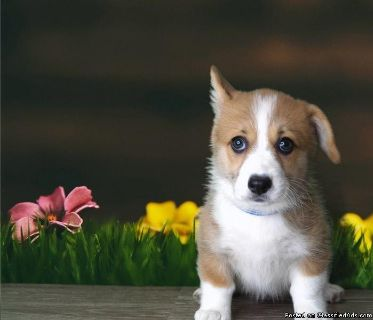 Attractive Corgi Puppies Ready Now