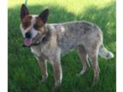 Adopt Gunner a Australian Cattle Dog / Blue Heeler