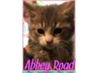 Adopt Abbey Road (In foster) a Domestic Short Hair