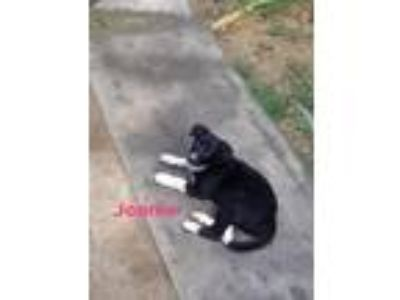 Adopt Joanie a Black - with White Australian Cattle Dog / Mixed dog in Nesbit