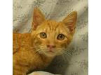 Adopt Kermit a Orange or Red Domestic Shorthair / Domestic Shorthair / Mixed cat