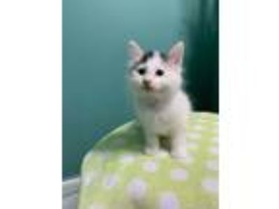 Adopt Tobi a Cream or Ivory (Mostly) American Shorthair (short coat) cat in