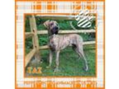 Adopt Taz a Great Dane