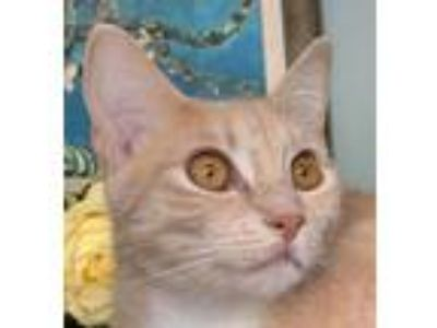 Adopt Rouge a Cream or Ivory Domestic Shorthair (short coat) cat in Mountain