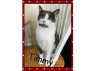Adopt Timmy a White (Mostly) Domestic Shorthair (short coat) cat in Bowie