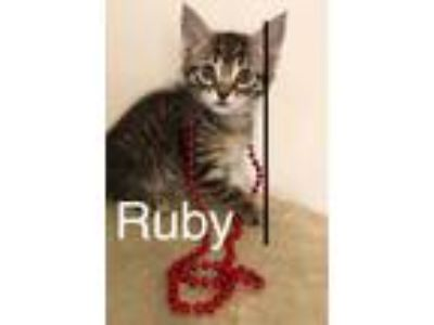 Adopt Ruby a Domestic Shorthair / Mixed (short coat) cat in Cumming