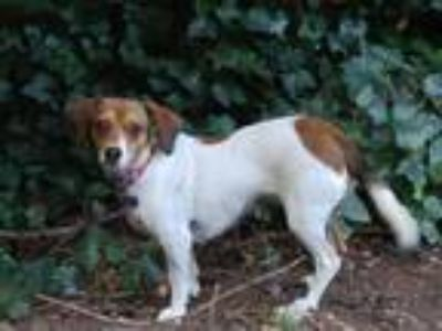 Adopt Georgie a Dachshund / Terrier (Unknown Type, Small) dog in Atlanta