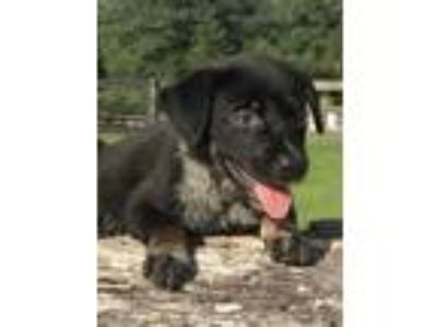 Adopt Tip a Black - with Gray or Silver Australian Shepherd / Labrador Retriever