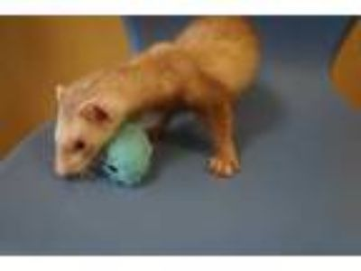 Adopt VIRGIL a Tan or Beige Ferret / Mixed small animal in Norfolk