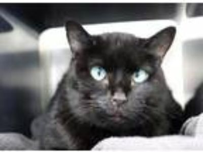 Adopt Midnight a All Black Domestic Shorthair / Domestic Shorthair / Mixed cat
