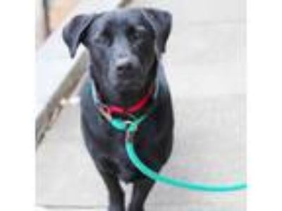 Adopt JT a Black Labrador Retriever / Basset Hound / Mixed dog in Atlanta