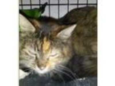 Adopt Candy a Calico or Dilute Calico Domestic Mediumhair (medium coat) cat in