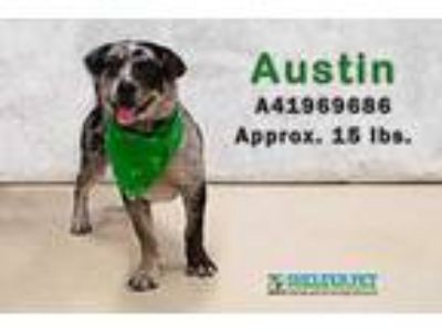 Adopt Austin a Brown/Chocolate Catahoula Leopard Dog / Mixed dog in San Angelo