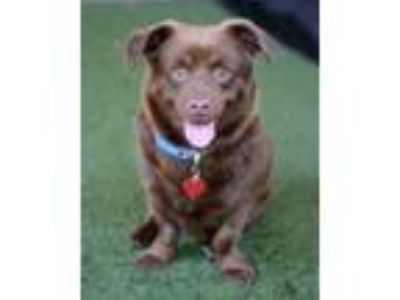 Adopt Fudge a Corgi, Labrador Retriever