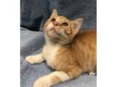 Adopt Carl a Orange or Red Domestic Shorthair / Domestic Shorthair / Mixed cat