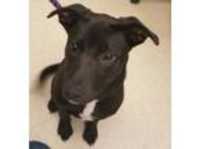 Adopt Maizy a Black Labrador Retriever / Border Collie / Mixed dog in