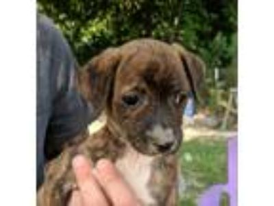 Adopt Cindy a Brindle - with White Dachshund / Jack Russell Terrier / Mixed dog