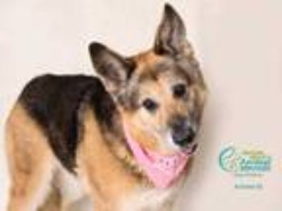 Adopt *VALKYRIE a Black - with Tan, Yellow or Fawn German Shepherd Dog / Mixed