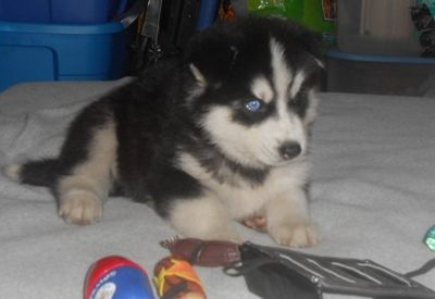 akc giant male and a sweet healthy siberian husky for a lovely home