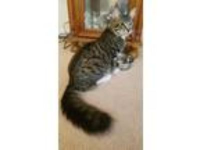 Adopt Thackery a Tiger Striped Maine Coon cat in Dallas, PA (25279034)