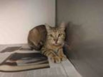 Adopt WILLY a Domestic Short Hair