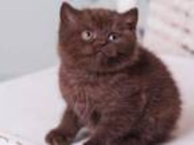 Ajersey British Shorthair In A Chocolate Color
