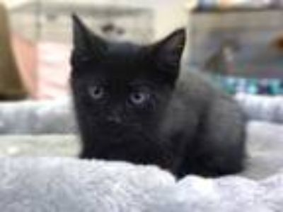 Adopt LICORICE a Gray or Blue Domestic Shorthair / Mixed (short coat) cat in