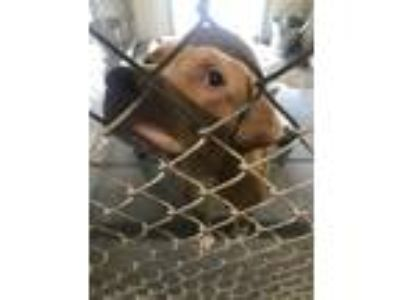 Adopt Mayflower a Red/Golden/Orange/Chestnut Mixed Breed (Large) / Mixed dog in