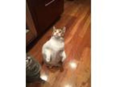 Adopt Cali a Calico or Dilute Calico Calico / Mixed cat in Birmingham