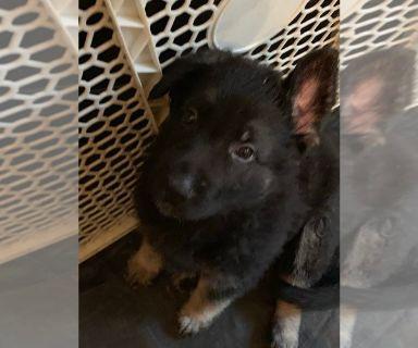 German Shepherd Dog PUPPY FOR SALE ADN-129724 - German Shephherd puppies