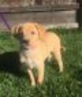 Hermione Yellow Labrador Retriever - Shiba Inu Dog