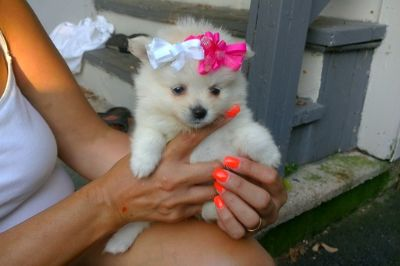 Pomeranian PUPPY FOR SALE ADN-88361 - Adorable Pomeranian Pups