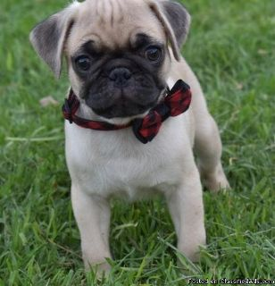 AKC Registered Black and Fawn Pug Puppies For Sale.