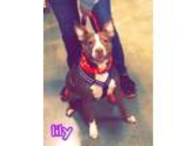 Adopt Lily a Staffordshire Bull Terrier