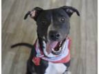 Adopt Bongo a Black - with White American Pit Bull Terrier / Labrador Retriever