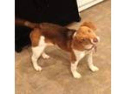 Adopt GiGi a Beagle, Jack Russell Terrier